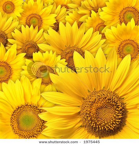 stock-photo-beautiful-yellow-sunflower-petals-closeup-1975445